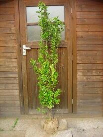 マサキ(柾) 樹高1.5m前後 露地苗 低木 常緑樹