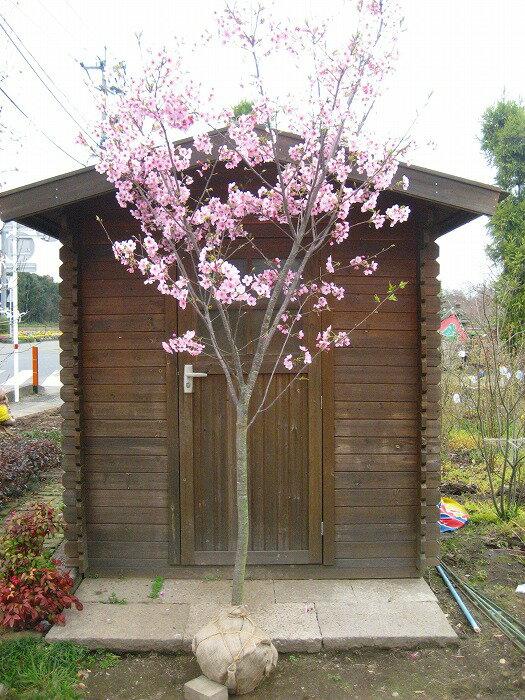 【大型商品】桜(サクラ)/ヨウコウザクラ(陽光桜) 樹高2.5m前後 露地苗 シンボルツリー 落葉樹