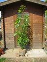 シラカシ(白樫) 株立 樹高1.5m前後 露地苗 シンボルツリー 常緑樹