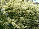 生垣に大人気の樹木☆トキワマンサク樹高80cm前後 青葉・白花 常盤満作【あす楽対応_九州】
