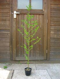 エゴノキ 単木 樹高1.0m前後 ポット苗 シンボルツリー 落葉樹