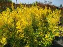 黄金色の葉がとても鮮やか☆人気の!オウゴンマサキ☆樹高1.0m前後 ポット苗 生垣・お庭のアクセントにも♪【あす楽対応_九州】