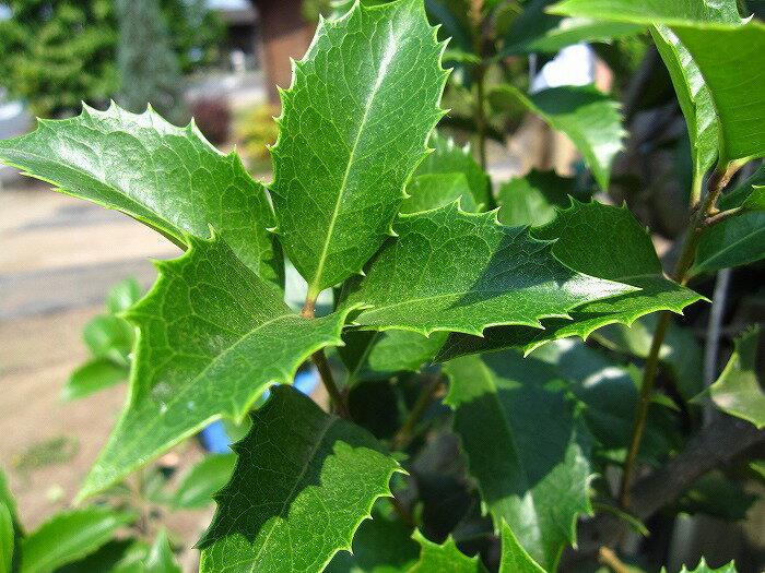 ヒイラギモクセイ(柊木犀) 樹高2.0m前後 露地苗 シンボルツリー 常緑樹