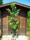 ハナミズキ(花水木) 樹高1.5m前後 露地苗 シンボルツリー 落葉樹