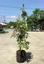 アラカシ(粗樫) 単木 樹高1.5m前後 露地苗 シンボルツリー 常緑樹