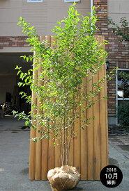 エゴノキ 株立 樹高1.8m前後 露地苗 シンボルツリー 落葉樹