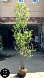 【大型商品】エゴノキ 株立 樹高2.5m前後 露地苗 シンボルツリー 落葉樹