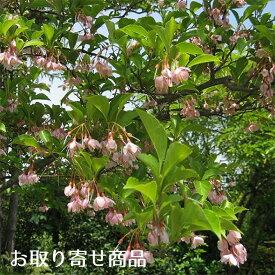 【大型商品】エゴノキ/ピンクチャイム 単木 樹高2.5m前後 露地苗 シンボルツリー 落葉樹