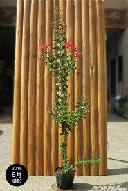 サルスベリ(百日紅)/カントリーレッド 樹高1.2m前後 ポット苗 シンボルツリー 落葉樹