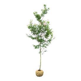【大型商品】サルスベリ(百日紅)/マスコギー 単木 樹高2.5m前後 露地苗 シンボルツリー 露地苗