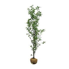 【大型商品】カリン(花梨) 樹高2.5m前後 露地苗 シンボルツリー 落葉樹