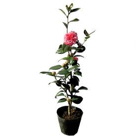 ツバキ(椿)/ベニオトメツバキ(紅乙女椿) 樹高0.5m前後 ポット苗 シンボルツリー 常緑樹