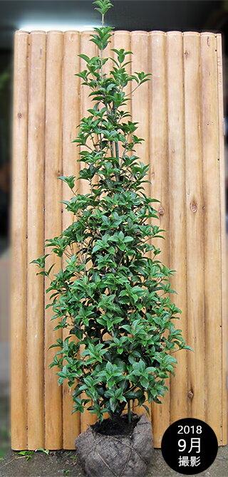 ヒイラギモクセイ(柊木犀) 樹高1.8m前後 露地苗 シンボルツリー 常緑樹
