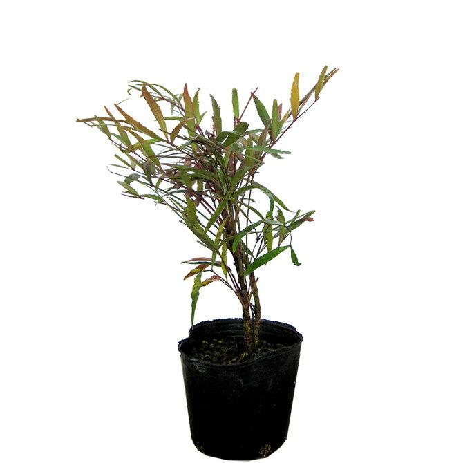 マホニアコンヒューサー(細葉ヒイラギ南天) 樹高20cm前後 ポット苗 低木 常緑樹