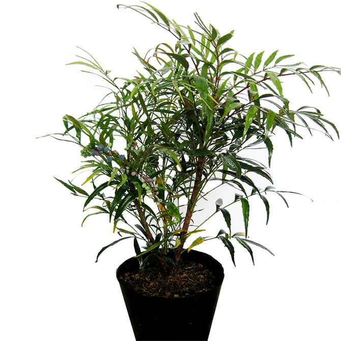 マホニアコンヒューサー(細葉ヒイラギ南天) 樹高50cm前後 ポット苗 低木 常緑樹
