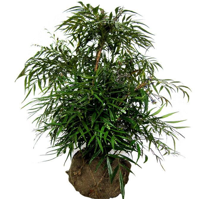 マホニアコンヒューサー(細葉ヒイラギ南天) 樹高80cm前後 露地苗 低木 常緑樹