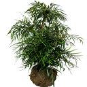 マホニアコンヒューサー(細葉ヒイラギ南天) 樹高0.8m前後 露地苗 低木 常緑樹