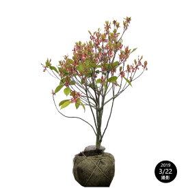ホンコンドウダンツツジ(香港灯台躑躅)/ピンクシャンデリア 樹高0.6〜0.8m 露地苗 低木 落葉樹