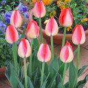 チューリップ球根 ジュディスレスター (5球セット) 球根 チューリップ 秋植え 栽培 花壇 趣味 園芸 キュウコン 赤 …