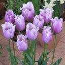 チューリップ球根 ブルーヘロン (5球セット) 球根 チューリップ 秋植え 栽培 花壇 趣味 園芸 キュウコン 紫 パープ…