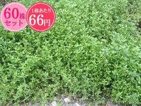 クリーピングタイム【桃花】 たっぷり60株セット 1株あたり66円【香りのじゅうたんを作りましょう♪】