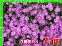 マツバギク【レイコウ】 たっぷり60株セット 1株あたり78円【緑のじゅうたんを作りましょう♪】