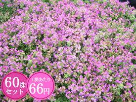 クリーピングタイム【赤花】 たっぷり60株セット 1株あたり66円【香りのじゅうたんを作りましょう♪】