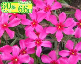 シバザクラ(芝桜)【スカーレットフレーム】 たっぷり60株セット 1株あたり66円【花のじゅうたんを作りましょう♪】