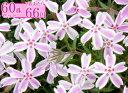 シバザクラ(芝桜)【キャンディストライプ】 たっぷり60株セット 1株あたり66円【花のじゅうたんを作りましょう♪…