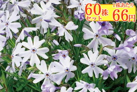 シバザクラ(芝桜)【エメラルドクッションブルー】 たっぷり60株セット 1株あたり66円【花のじゅうたんを作りましょう♪】