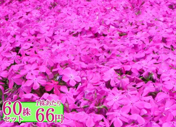 シバザクラ(芝桜)【マクダニエルクッション】 たっぷり60株セット 1株あたり66円【花のじゅうたんを作りましょう♪】