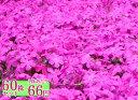 シバザクラ【マクダニエルクッション】 たっぷり60株セット 1株あたり66円【花のじゅうたんを作りましょう♪】