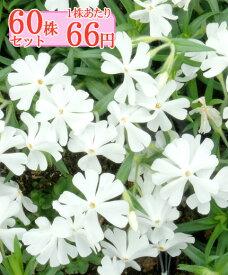 シバザクラ(芝桜)【モンブランホワイト】 たっぷり60株セット 1株あたり66円【花のじゅうたんを作りましょう♪】