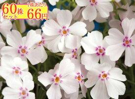 シバザクラ(芝桜)【アメージンググレースピンク】 たっぷり60株セット 1株あたり66円【花のじゅうたんを作りましょう♪】
