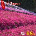 シバザクラ(芝桜) たっぷり60株セット苗 【品種が選べる!】