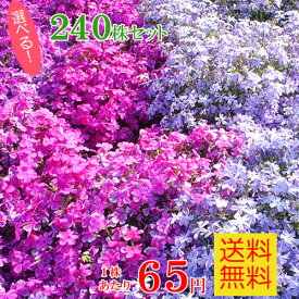 シバザクラ(芝桜) たっぷり240株セット苗【品種が選べる!】【送料無料】 (60株×4口選択)
