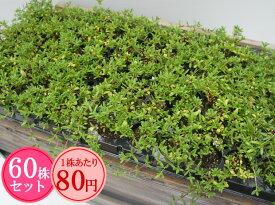 ロンギカウリスタイム たっぷり60株セット 1株あたり80円【香りのじゅうたんを作りましょう♪】