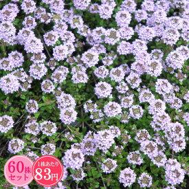ロンギカウリスタイム たっぷり60株セット 1株あたり83円【香りのじゅうたんを作りましょう♪】