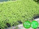 クリーピングタイム【白花】 たっぷり60株セット 1株あたり67円【香りのじゅうたんを作りましょう♪】