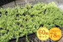 ハイランドクリームタイム たっぷり60株セット 1株あたり78円【緑のじゅうたんを作りましょう♪】
