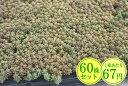 多肉植物 セダム【コーラルカーペット】 たっぷり60株セット 1株あたり67円【香りのじゅうたんを作りましょう♪】