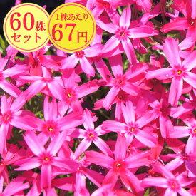シバザクラ(芝桜)【あかつき】 たっぷり60株セット 1株あたり67円【花のじゅうたんを作りましょう♪】