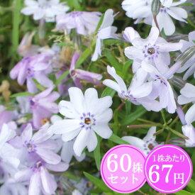 シバザクラ(芝桜)【ババリア】 たっぷり60株セット 1株あたり67円【花のじゅうたんを作りましょう♪】