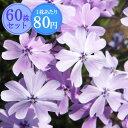 シバザクラ【藤姫】 たっぷり60株セット 1株あたり80円【花のじゅうたんを作りましょう♪】