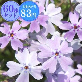 シバザクラ(芝桜)【藤娘】 たっぷり60株セット 1株あたり78円【花のじゅうたんを作りましょう♪】