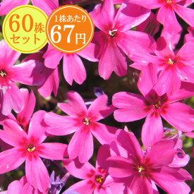 シバザクラ(芝桜)【極光】 たっぷり60株セット 1株あたり67円【花のじゅうたんを作りましょう♪】