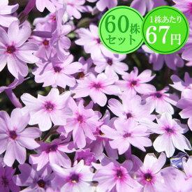 シバザクラ(芝桜)【ピンクローズ】 たっぷり60株セット 1株あたり67円【花のじゅうたんを作りましょう♪】