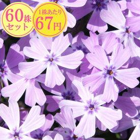 シバザクラ(芝桜)【パープルアイ】 たっぷり60株セット 1株あたり67円【花のじゅうたんを作りましょう♪】