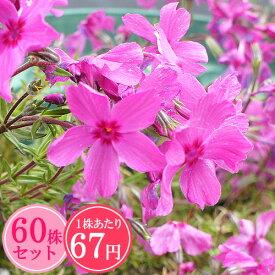 シバザクラ(芝桜)【レッドウイング】 たっぷり60株セット 1株あたり67円【花のじゅうたんを作りましょう♪】