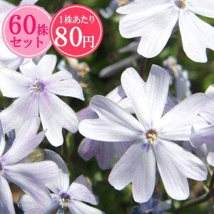 シバザクラ(芝桜)【るり桜】 たっぷり60株セット 1株あたり83円【花のじゅうたんを作りましょう♪】